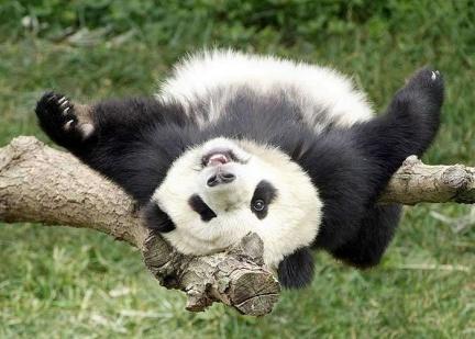 panda spaparanzato